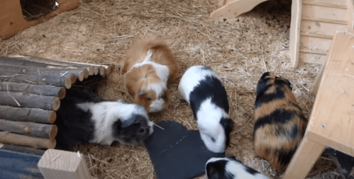Can guinea pigs kill each other?