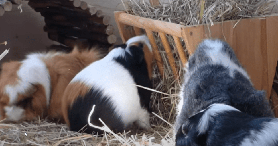 how to prevent my guinea pigs from fighting each other ?