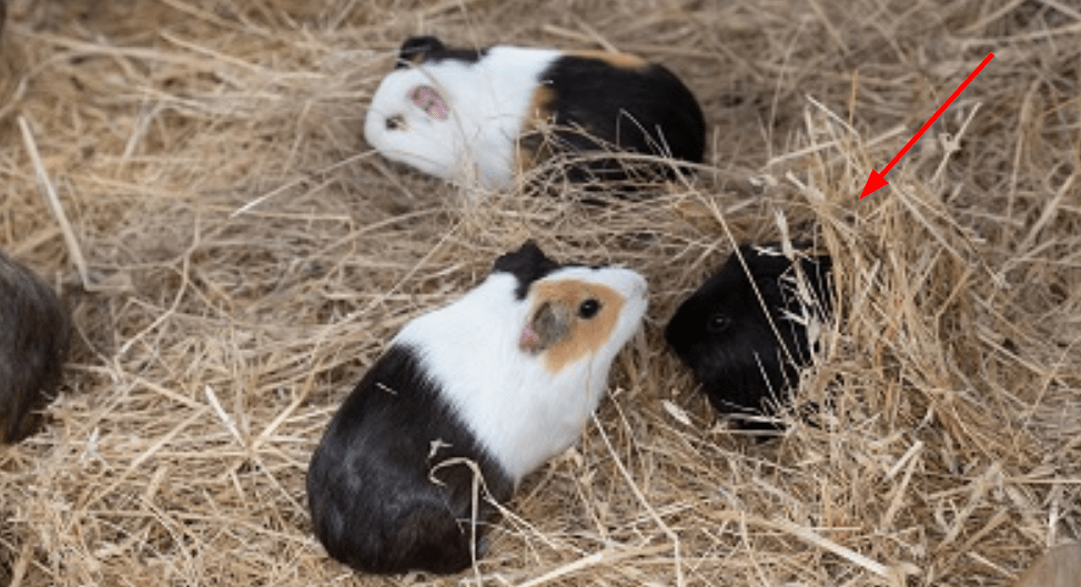 guinea pigs make shelters from hay