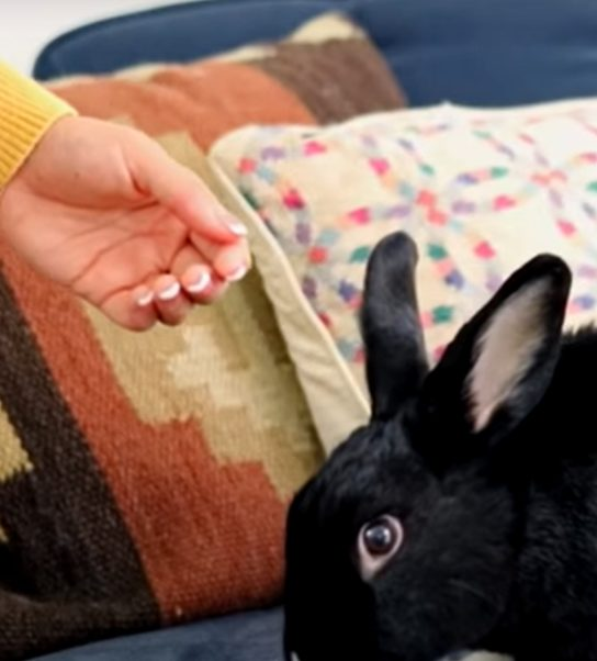 do rabbits recognize their owner