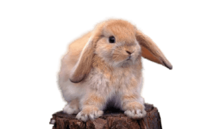Holland Lop Rabbit famillypet 1