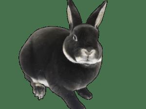 Mini Rex rabbit famillypet 2