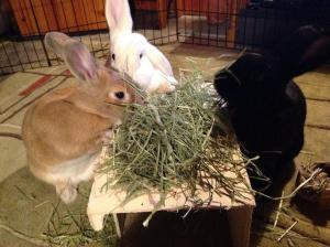 the best hay for rabbits