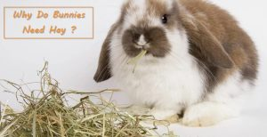 why do rabbits need hay ?