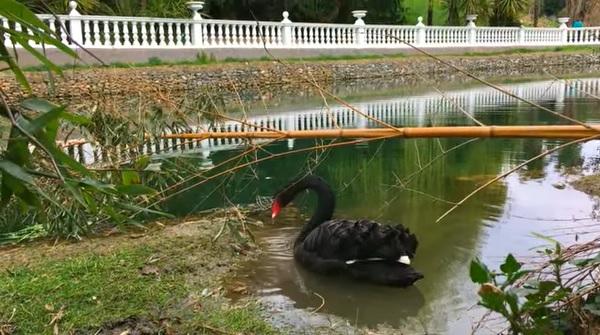 Черный лебедь в пруду