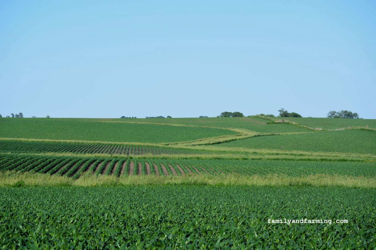 A photo of waterways in a corn field.