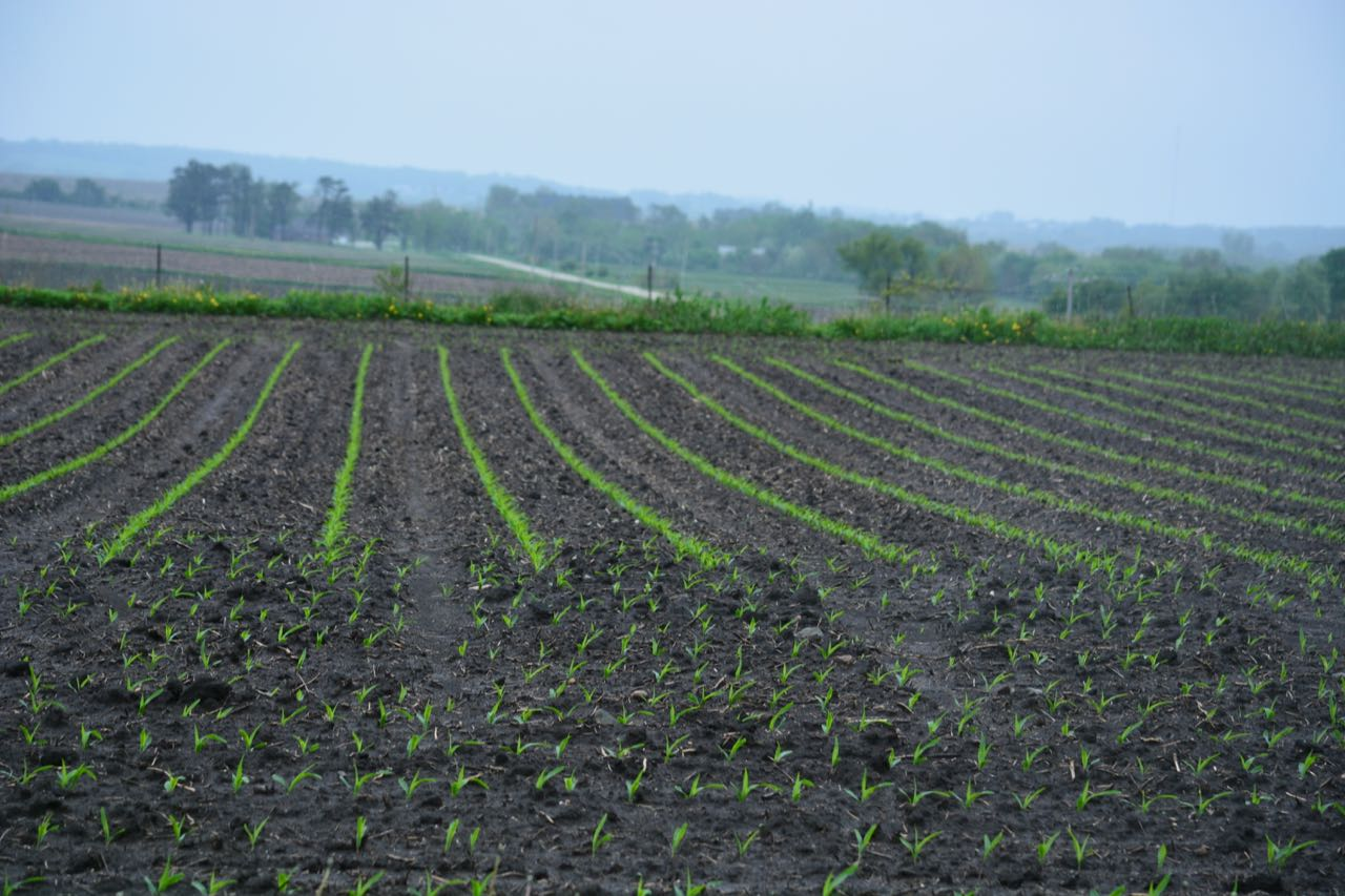 just planted corn field