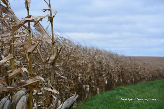 Dry corn in a soggy field