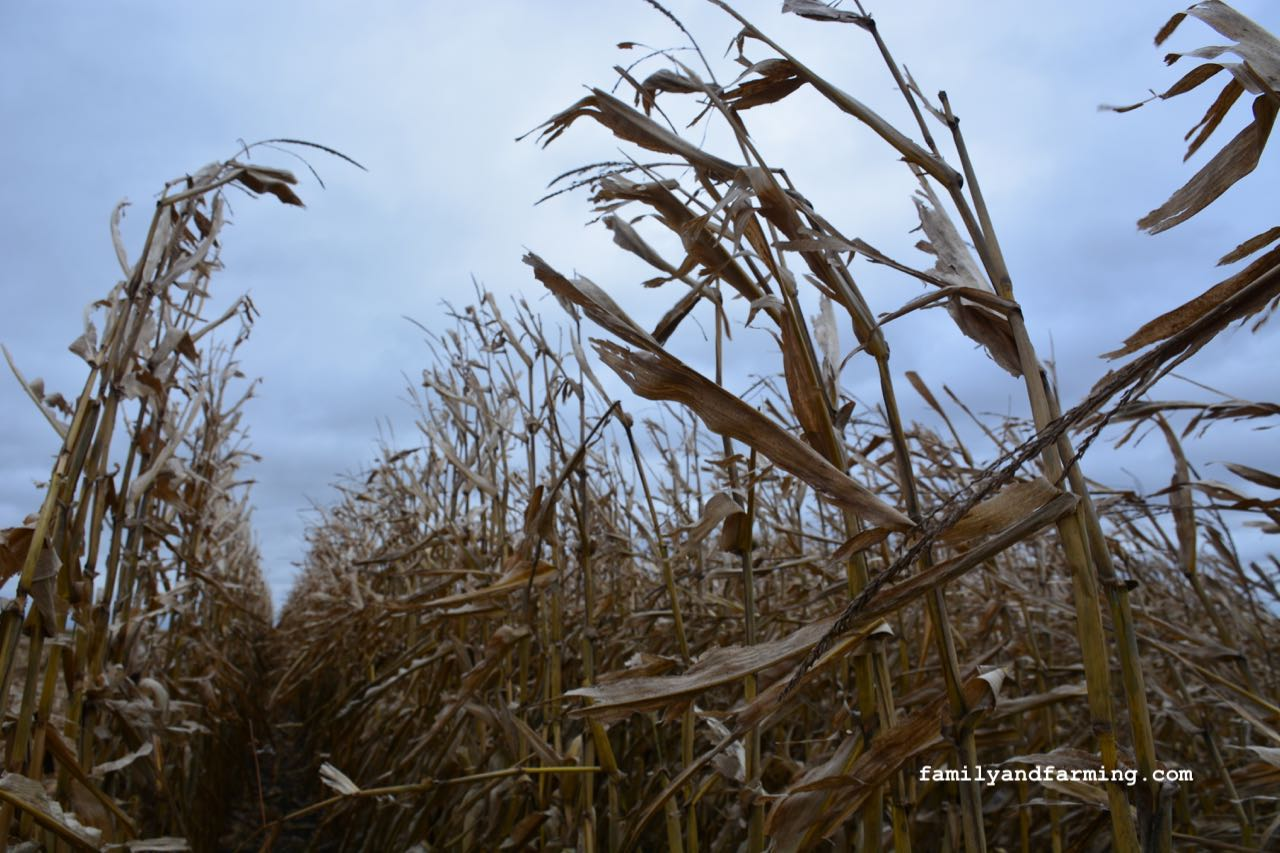 Dry corn in the fall with a cloudy sky