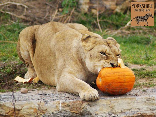 Halloween-Yorkshire-Wildlife-Park-2014-photo4