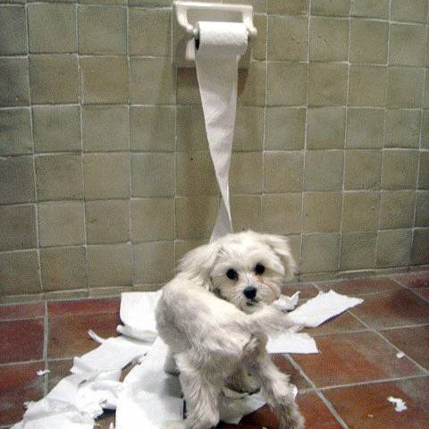 Mischievous puppy playing with toilet paper