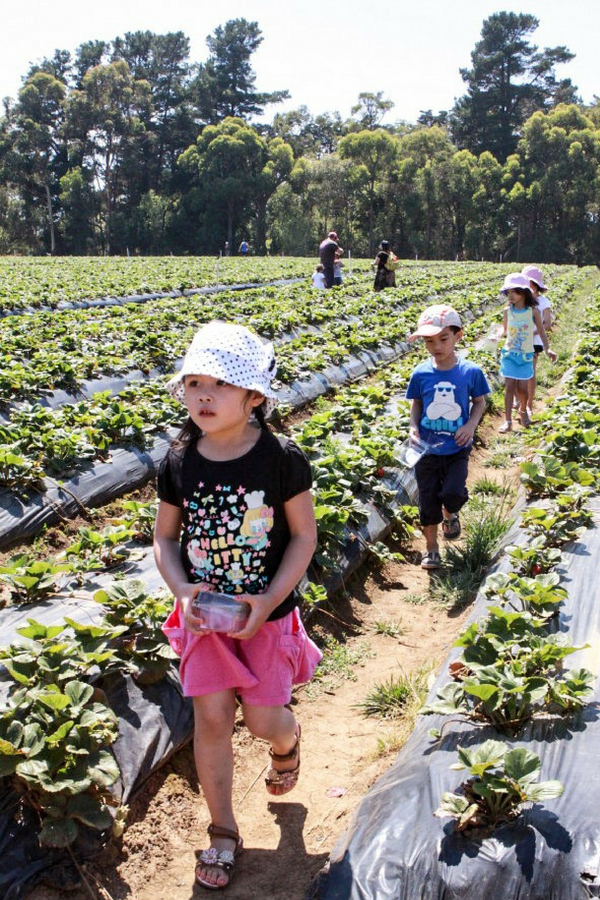 Strawberry picking with kids Sunnyridge