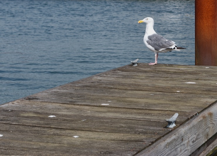 Western Seagull in Astoria, OR