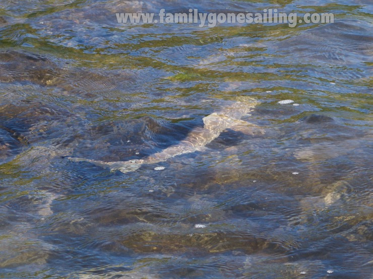 Small blacktip sharks at the shoreline on the beach
