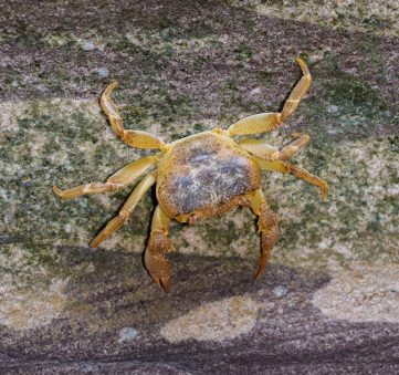 freshwater crab