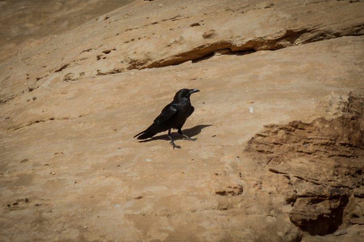 corbeau brun (1 sur 1)