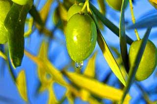 olive-on-tree5_320