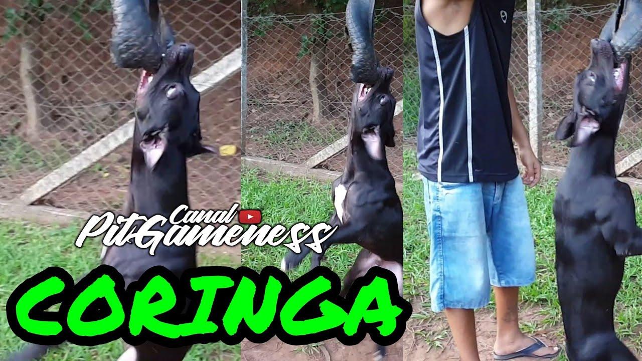 Coringa APBT Dog Training - Coringa APBT Dog Training