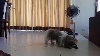 "CEBU Dog training impulse control work el monte verde consolacion cebu. 10 mos.old shih tzu  - CEBU Dog training ""impulse control work"" @ el monte verde consolacion cebu. ( 10 mos.old shih tzu )"