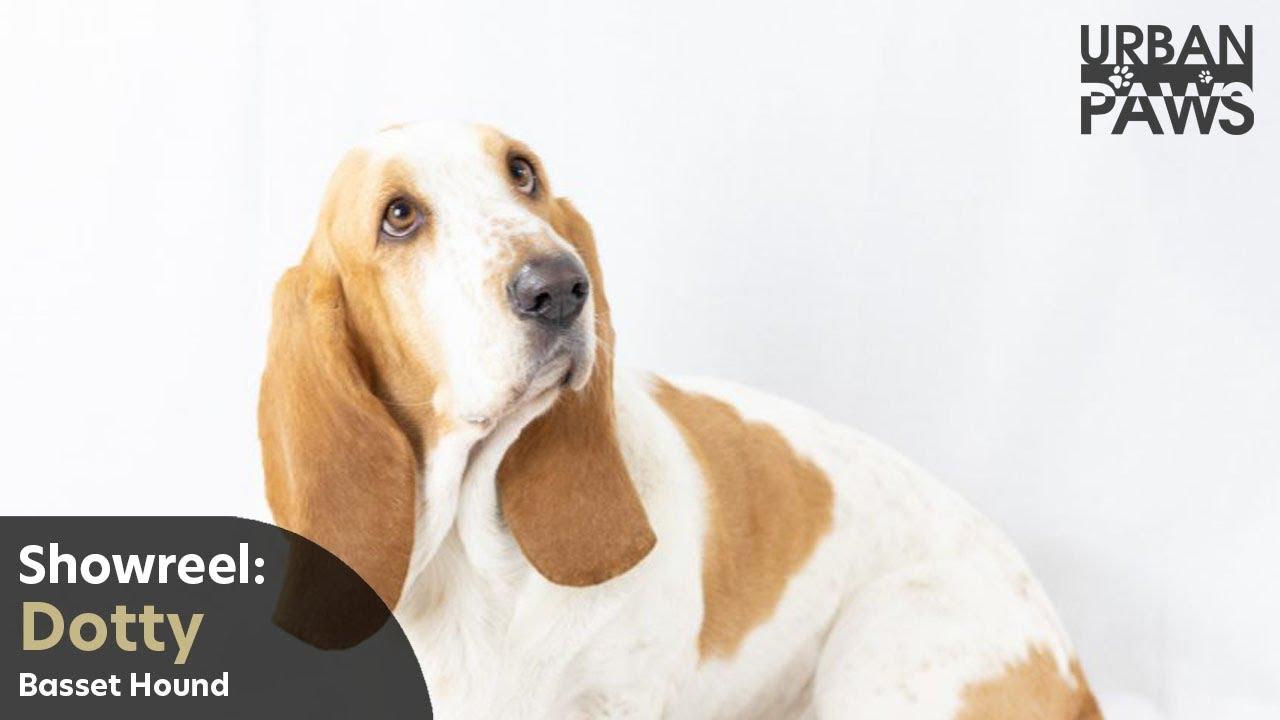 Dog Training Dotty Bassett Hound - Dog Training: Dotty (Bassett Hound)