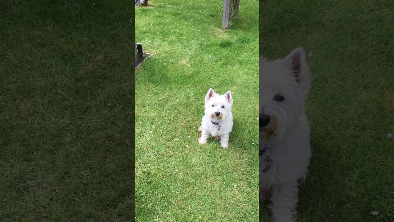 Dog Training Rosie West Highland Terrier - Dog Training; Rosie (West Highland Terrier)