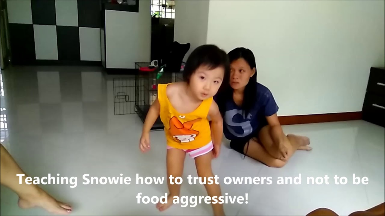 Dog Training Singapore Snowie Japanese Spitz - Dog Training Singapore Snowie Japanese Spitz