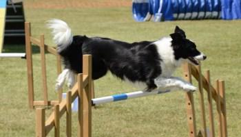 Basic dog training where to start Dog training video for any dog owner - Pointer dog training     Owner saqib nawaz mumnana from rukkan