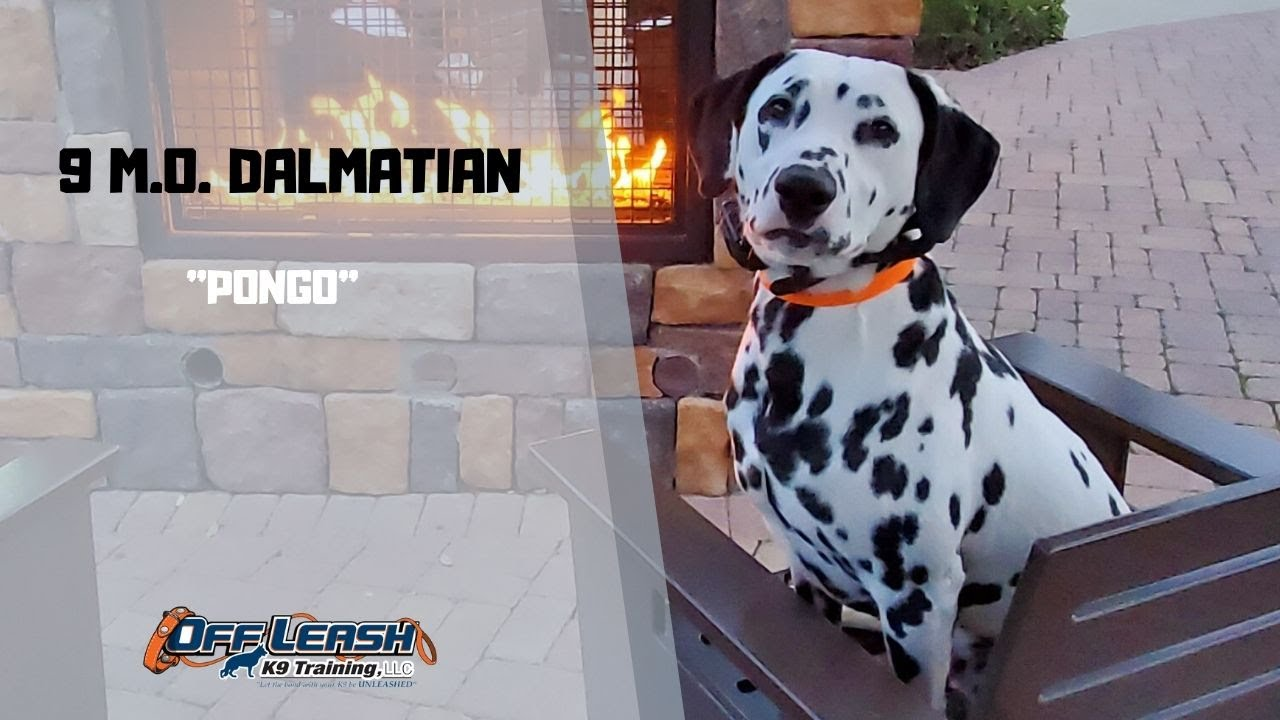 DALMATIAN DOG TRAINING - DALMATIAN / DOG TRAINING