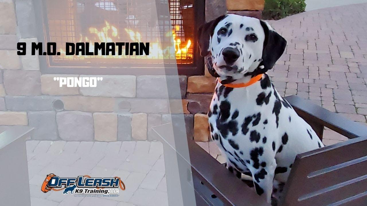 DALMATIAN DOG TRAINING - DALMATIAN / DOG TRAINING