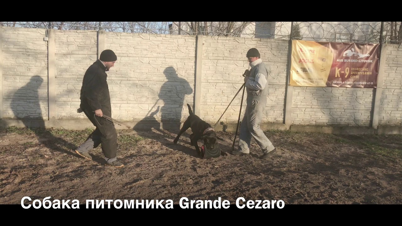 Flash Royal Dog Training - Кане Корсо Flash Royal  Dog Training