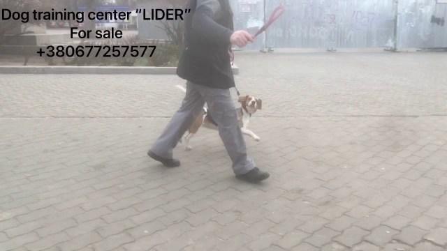 Detection dog for sale. Dog training center LIDER. -