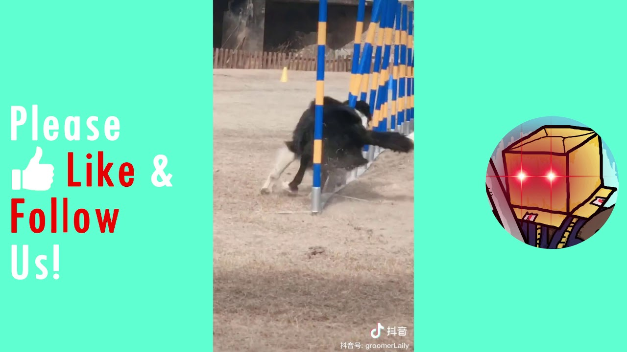 Border Collie Obstacle Run Dog Training Camp - Border Collie Obstacle Run: Dog Training Camp