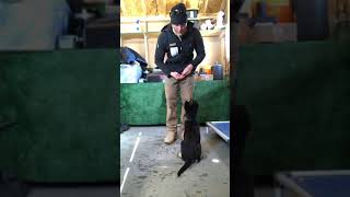 Facebook Live Dog Training with Tango the German Shepherd Puppy Complete Canine Training - Facebook Live Dog Training with Tango the German Shepherd Puppy - Complete Canine Training