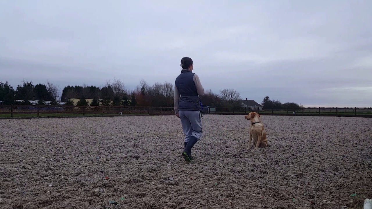 Dog Training Samwell Labrador Walk to heel Sit Lie Down - Dog Training: Samwell (Labrador) - Walk to heel, Sit, Lie Down