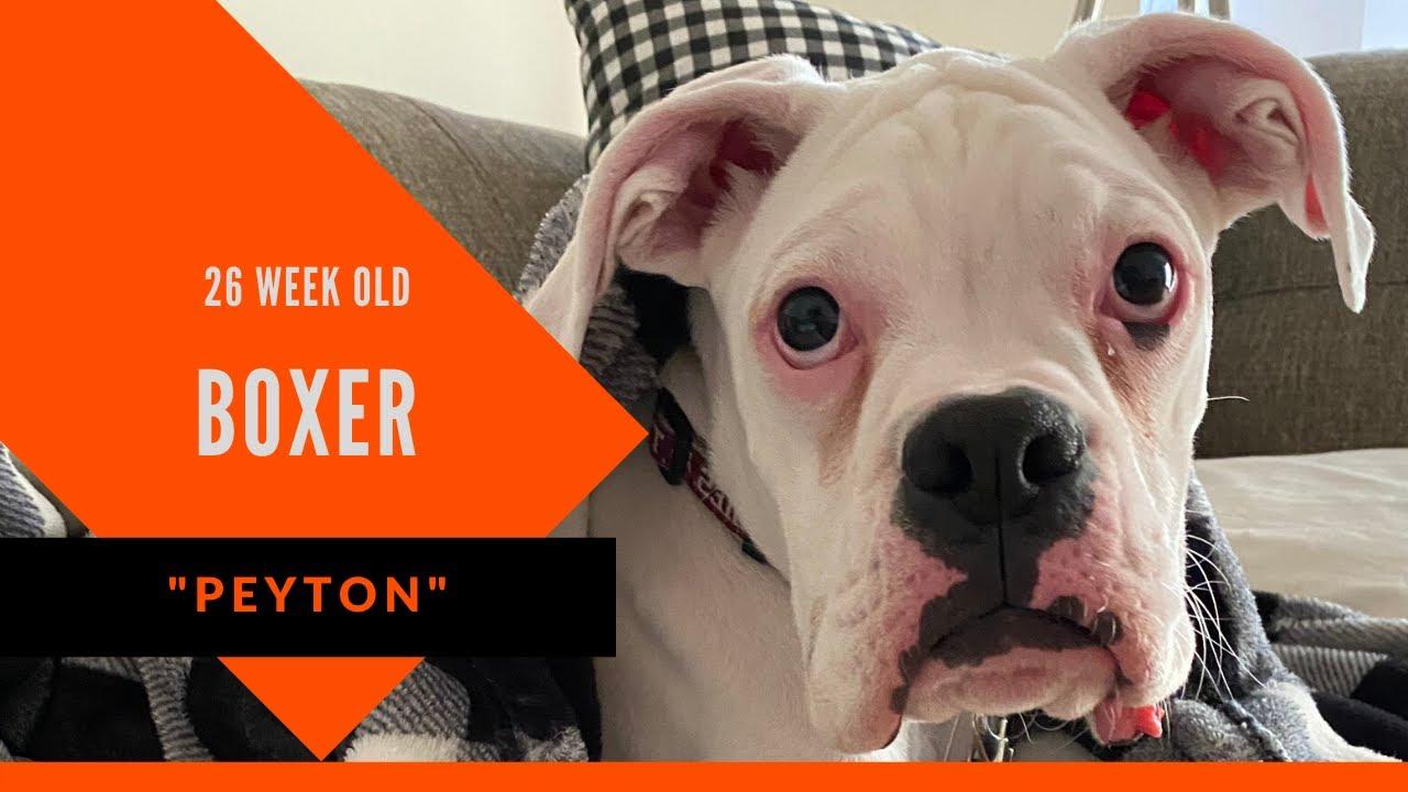Peyton 26 Week Old Boxer Boxer Dog Trainer Atlanta Board Train Program - Peyton | 26 Week Old Boxer | Boxer Dog Trainer Atlanta | Board & Train Program