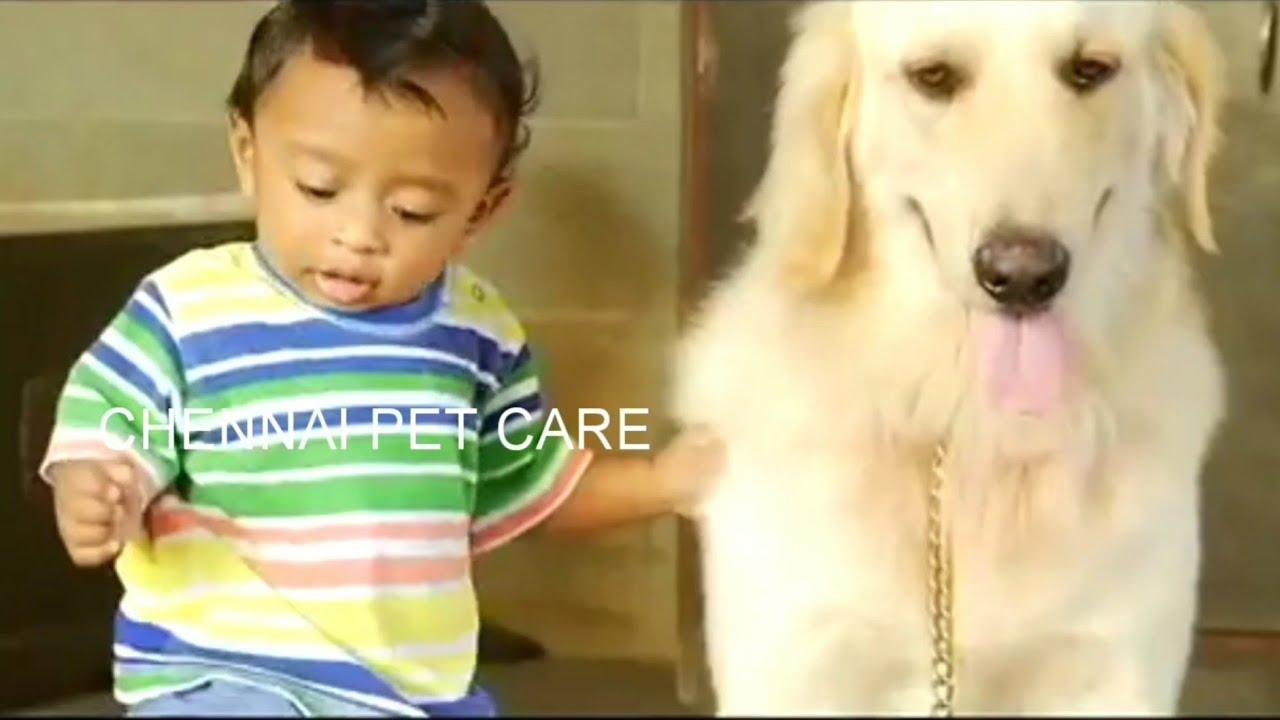 Growing Up Golden Golden Retriever dog training Professional Dog Training Tips - Growing Up Golden: Golden Retriever dog training | Professional Dog Training Tips