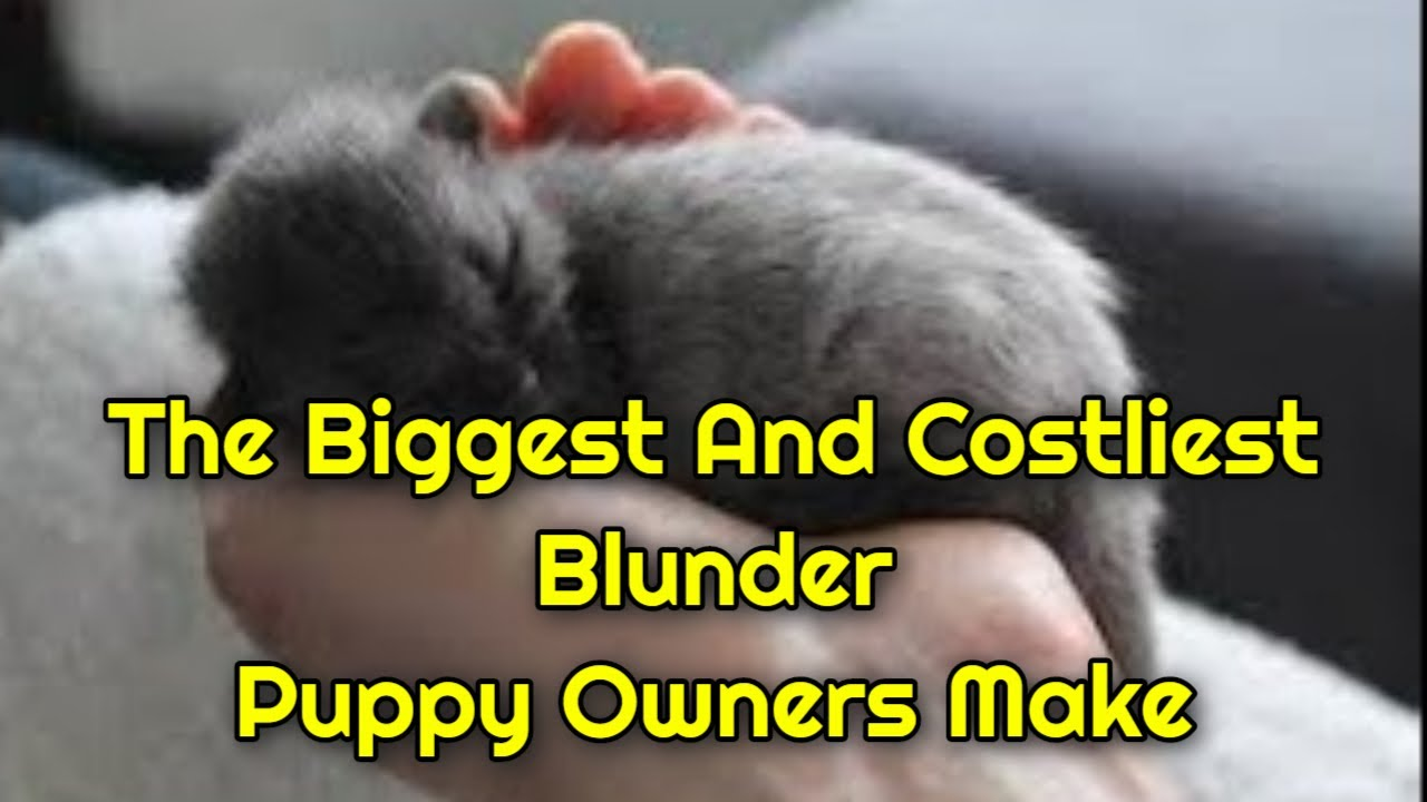 maxresdefault 1 - The Biggest And Costliest Blunder Puppy Owners Make