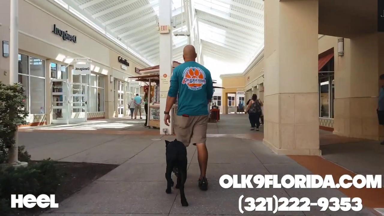 "5 Month Old Cane Corso Dracarys Orlando Dog Trainers Central Florida Dog Trainers - 5 Month Old Cane Corso ""Dracarys"" | Orlando Dog Trainers | Central Florida Dog Trainers"