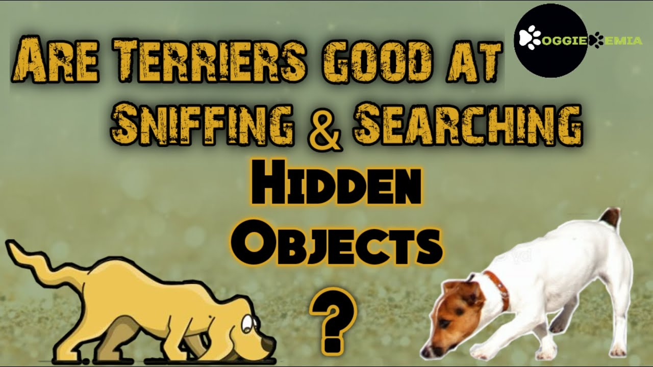 Dog Training Advance Level Sniffing and Searching Are TERRIERS good Sniffers DOGGIEDEMIA - Dog Training (Advance Level) - Sniffing and Searching || Are TERRIERS good Sniffers? || DOGGIEDEMIA