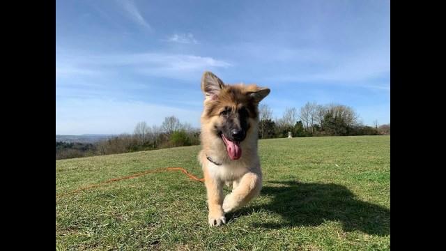 Olive the German Shepherd Puppy 3 Weeks Residential Dog Training -