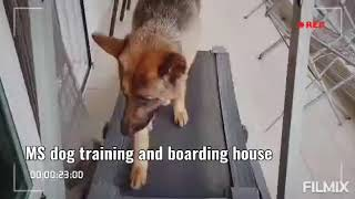 MS dog training and boarding house in gurgaon Haryana Mohan Singh dog trainer contact 9811130059 - MS dog training and boarding house in gurgaon Haryana Mohan Singh dog trainer contact 9811130059
