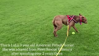 Pitbull rescue dog training rehabilitation. Perra K9 Dublin Malahide - Pitbull rescue dog training rehabilitation. Perra K9 Dublin, Malahide