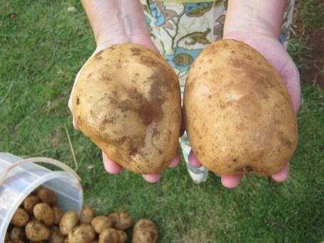 Die dümmsten Bauern, oder diejenigen die Farming Gods Way praktizieren, haben die groessten Kartoffeln. (Ein Foto aus 2014)