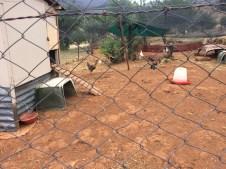 Die Hühner liefern täglich frische Eier. Und manchmal auch den Braten. .. ;-)