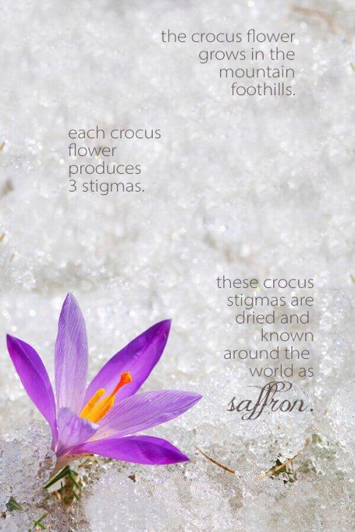 saffron_flower_about