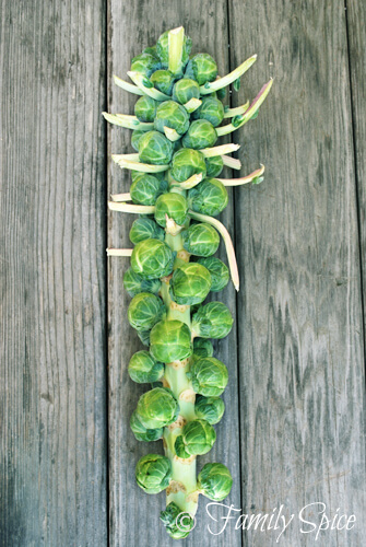 Brussels Sprouts on a Branch