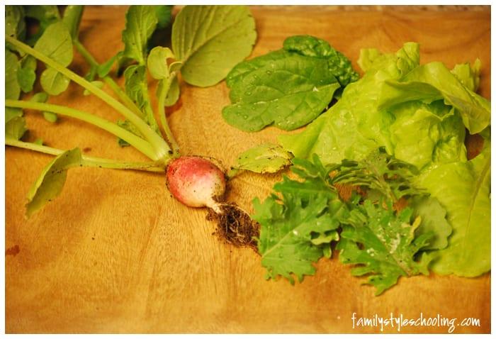raddish kale spinach bibb lettuce harvest