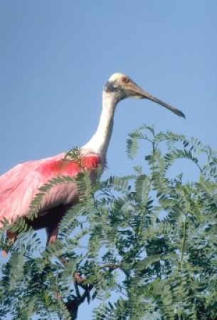 Roseate Spoonbill. Photo Credit: Lake Charles CVB, used with permission.