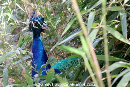 """The peacock """"hid"""" from us at the Little Zoo that Could, Gulf Shores, Alabama"""