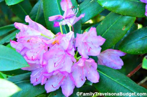 Linville Falls Rhododendron